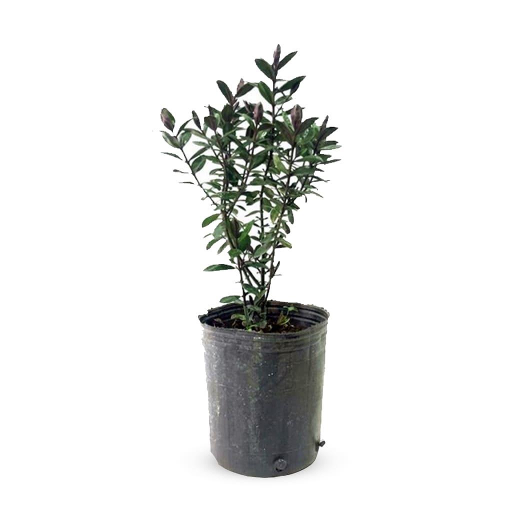 Plantas Faitful Plantas Exterior Veronica Rubra E3 - Plantas Faitful