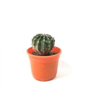 Cactus en maceta de 11 cm