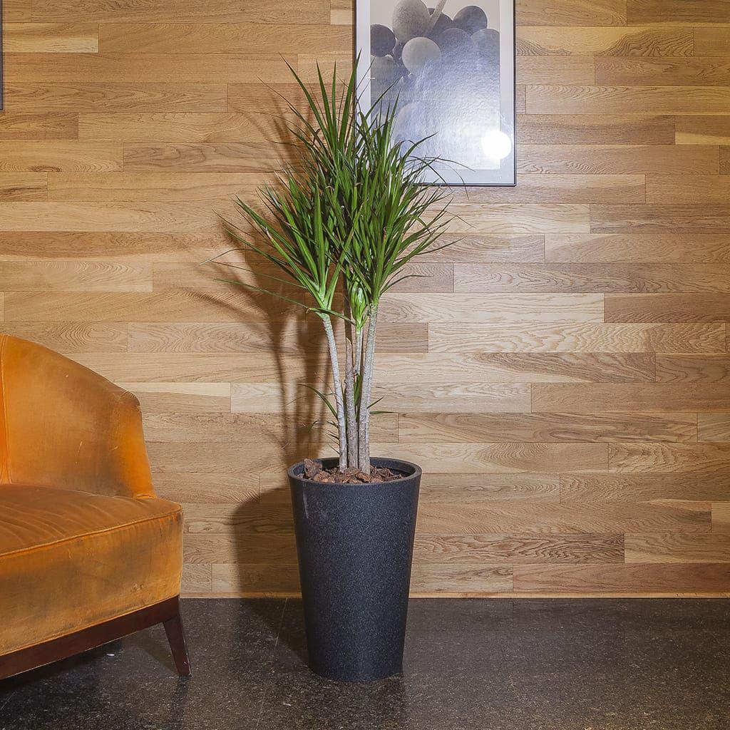 Plantas Faitful Combos Interior Dracaena Marginata Cono Liso Rotomoldeado - Plantas Faitful