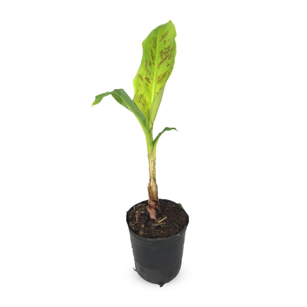 Plantas Faitful Plantas Exterior Bananero E5 - Plantas Faitful