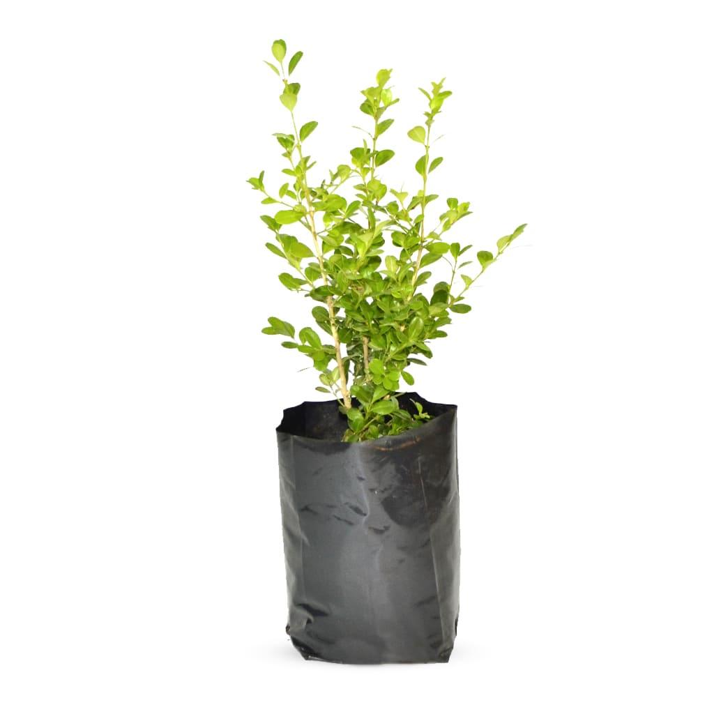 Plantas Faitful Plantas Exterior Buxus E3 2 - Plantas Faitful