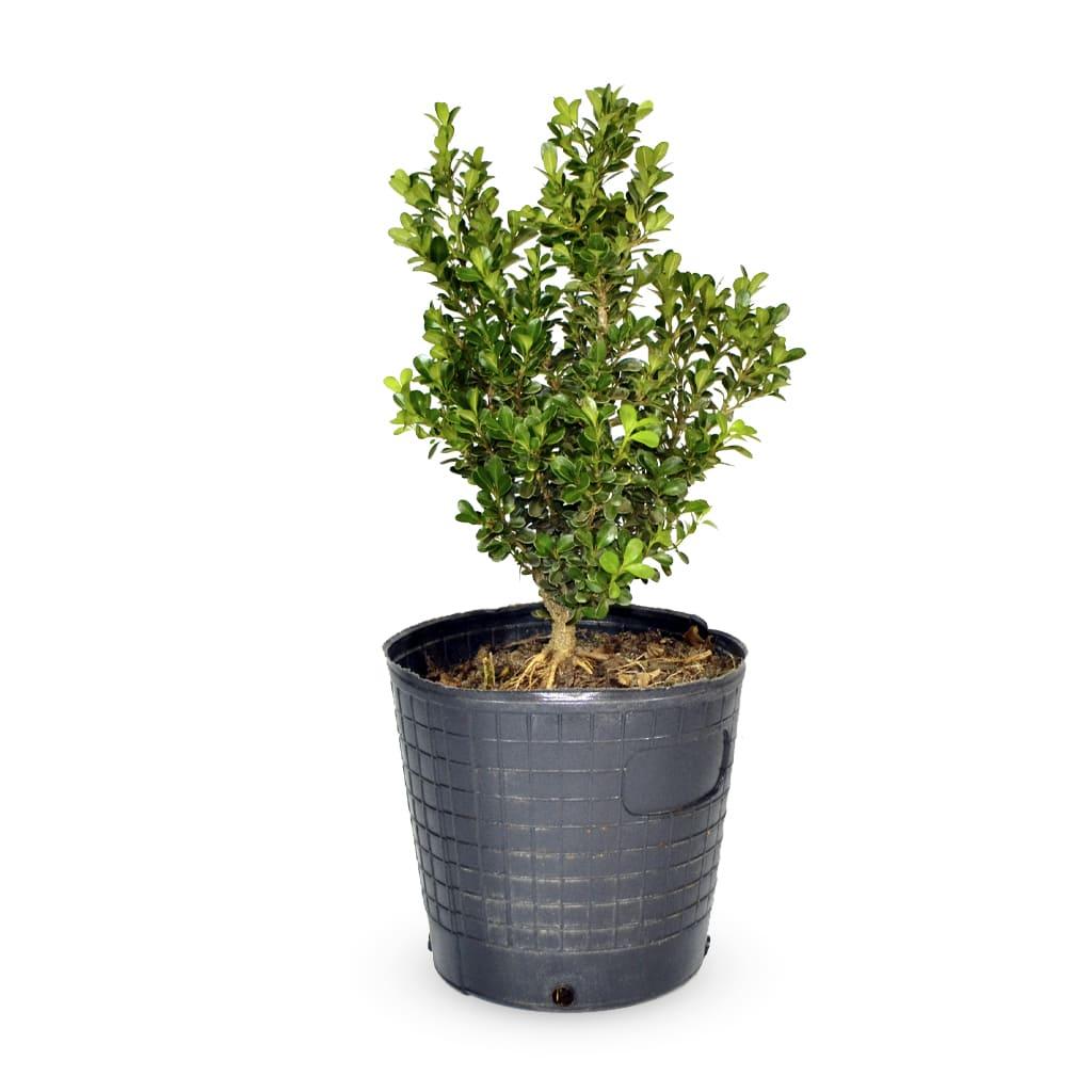 Plantas Faitful Plantas Exterior Buxus E5 1 - Plantas Faitful