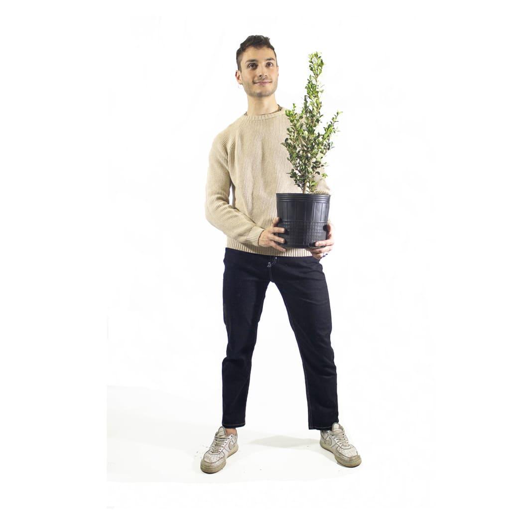 Plantas Faitful Plantas Exterior Buxus E5 Dimension 4 - Plantas Faitful