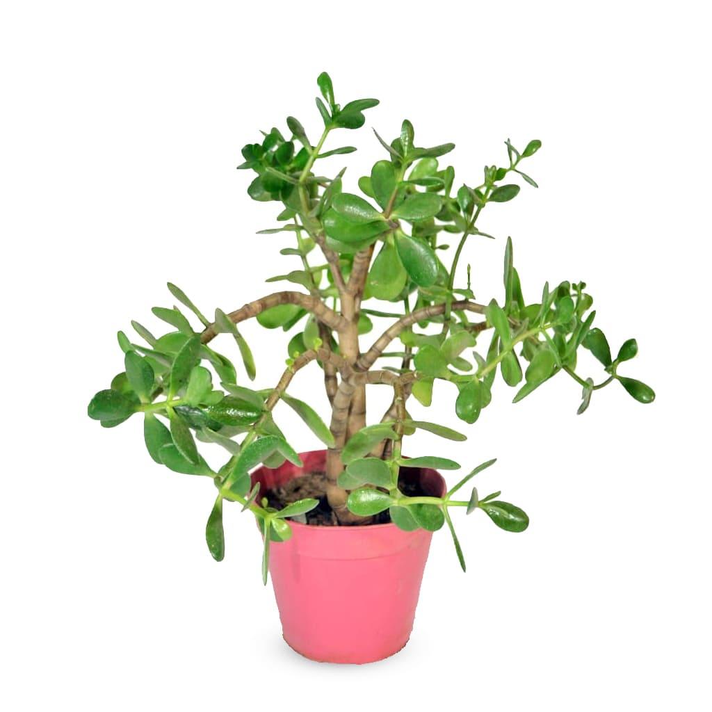 Plantas Faitful Plantas Exterior Crasa M15 - Plantas Faitful