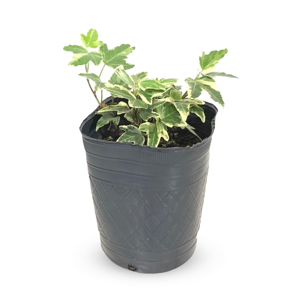 Plantas Faitful Plantas Exterior Hiedra M12 2 - Plantas Faitful