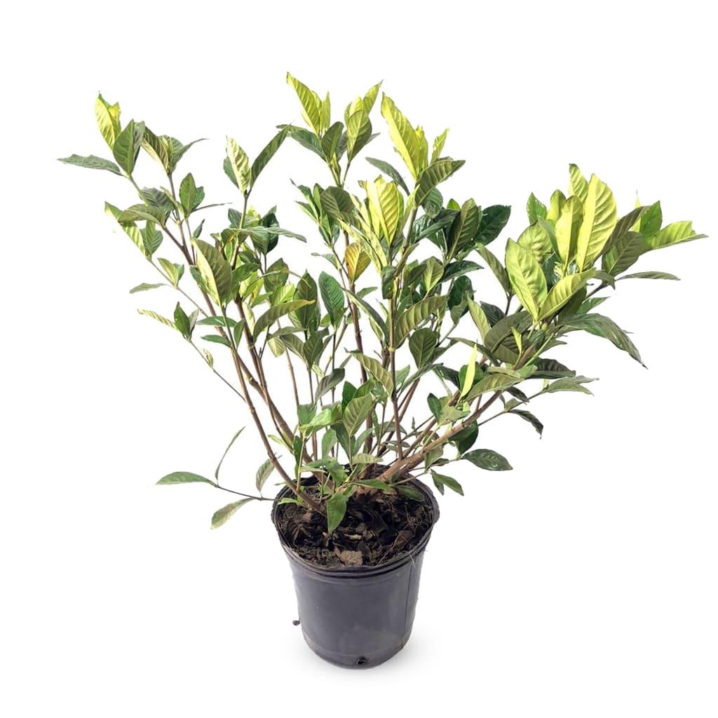 Plantas Faitful Plantas Exterior Jazmin del cabo E5 - Plantas Faitful