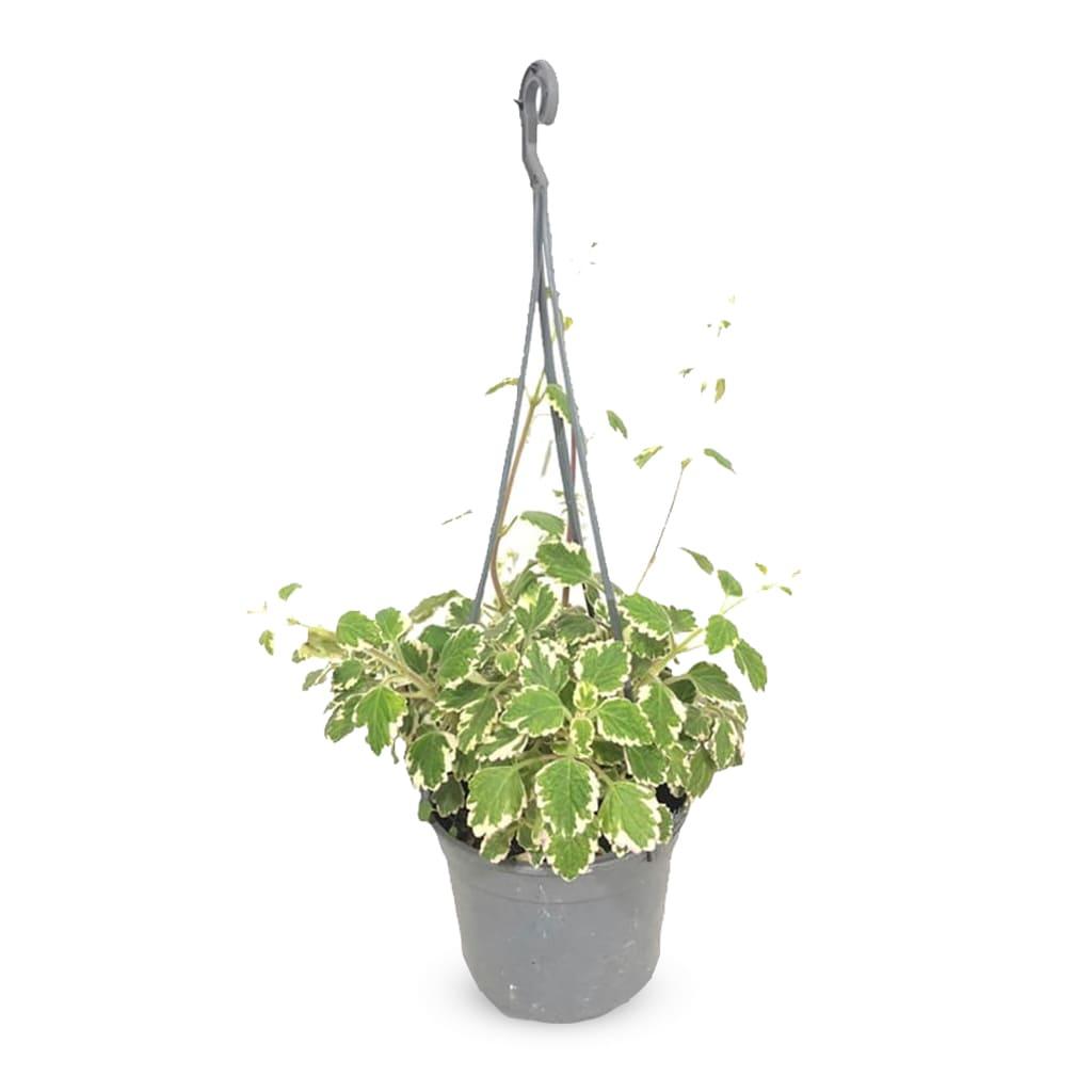 Plantas Faitful Plantas Exterior Malva M15 - Plantas Faitful