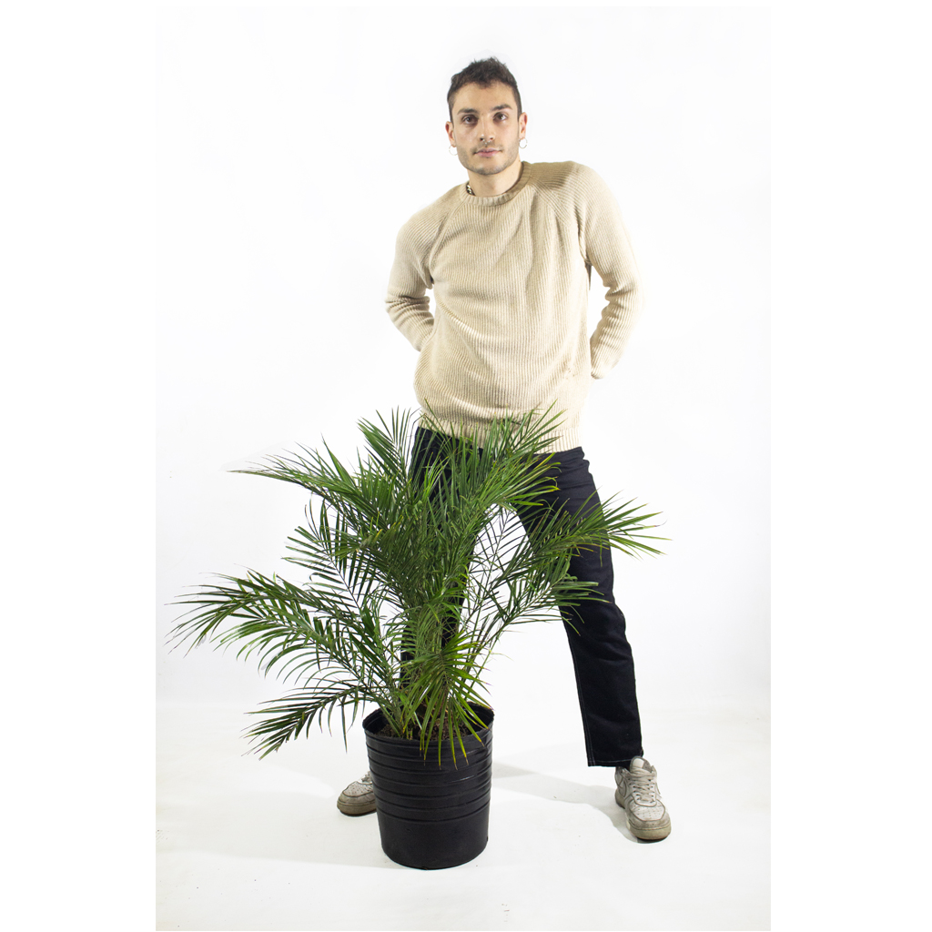Plantas Faitful Plantas Exterior Phoenix Roebellini E15 Dimension 1 - Plantas Faitful