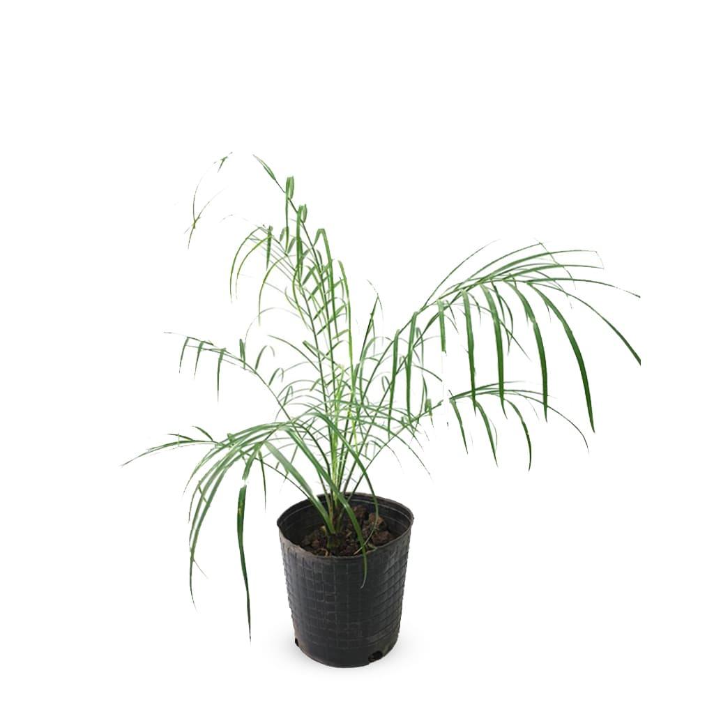 Plantas Faitful Plantas Exterior Phoenix Roebellini E3 - Plantas Faitful