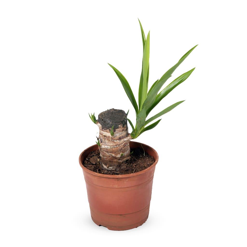 Plantas Faitful Plantas Exterior Yucca M12 - Plantas Faitful
