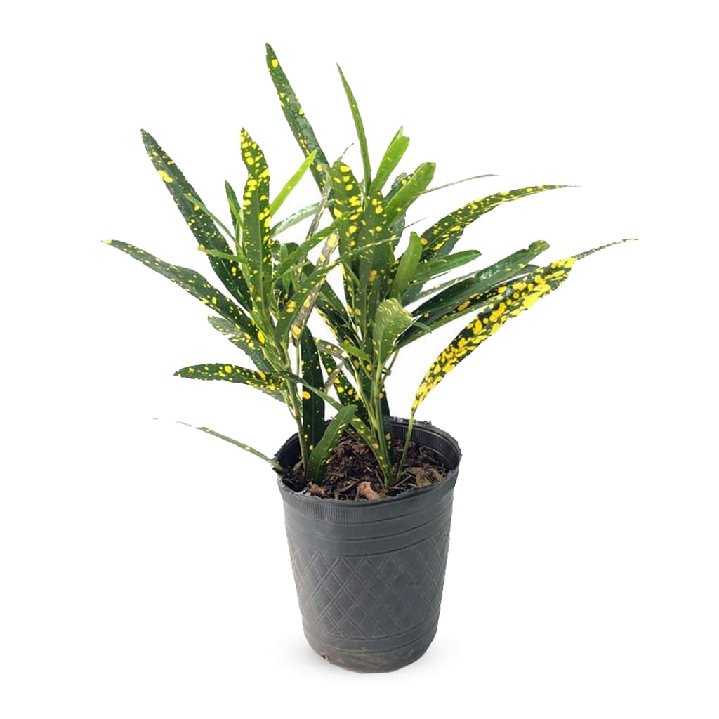 Plantas Faitful Plantas Interior Croton Fideo M12 - Plantas Faitful