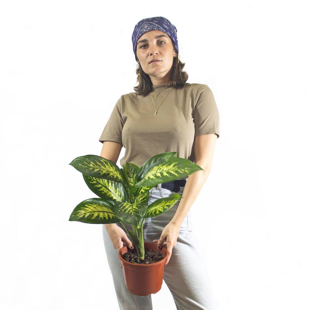 Plantas Faitful Plantas Interior Dieffenbachia Tropic M15 Dimension 2 - Plantas Faitful