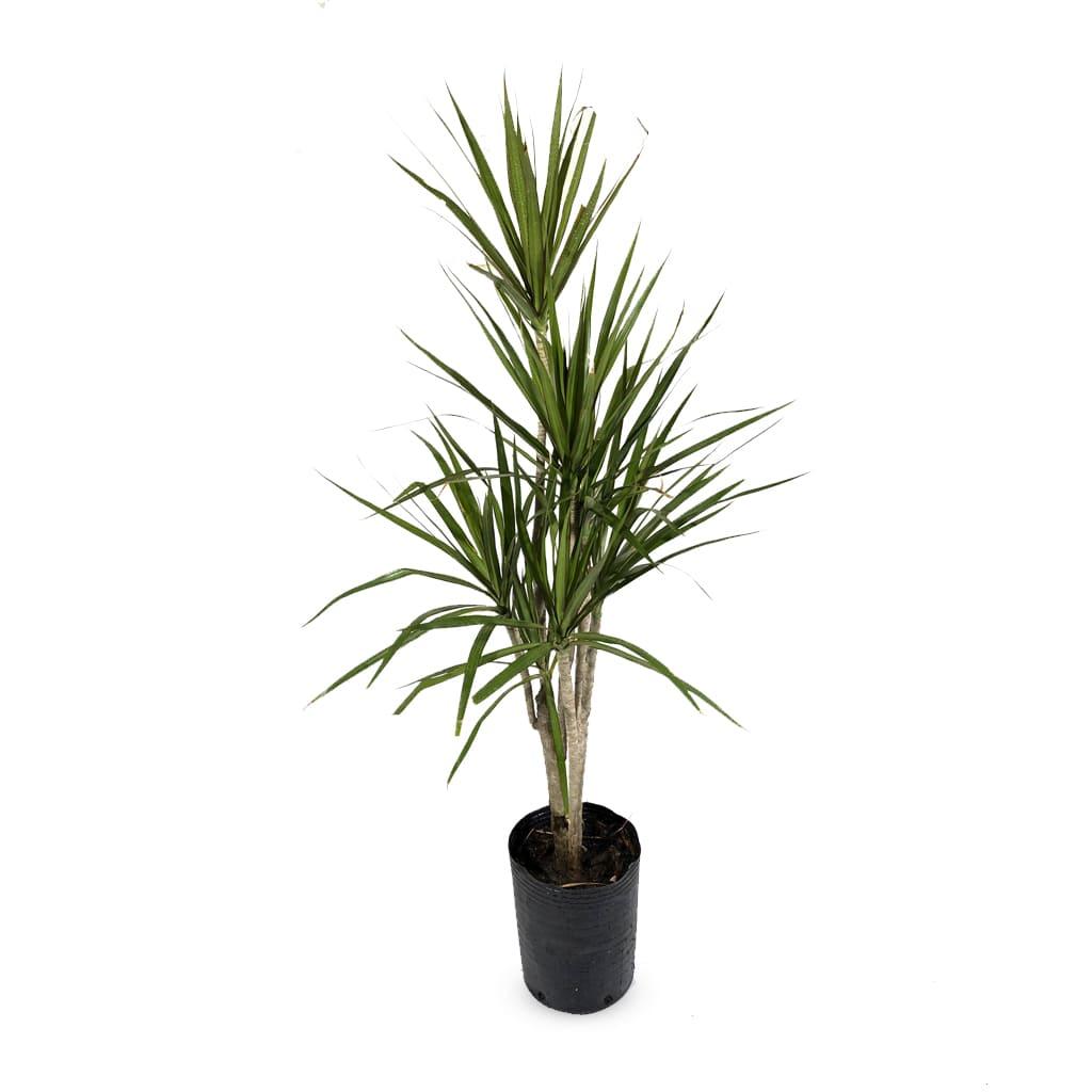 Plantas Faitful Plantas Interior Dracaena Marginata E10 2 - Plantas Faitful