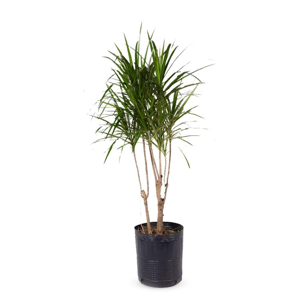 Plantas Faitful Plantas Interior Dracaena Marginata E15 1 - Plantas Faitful
