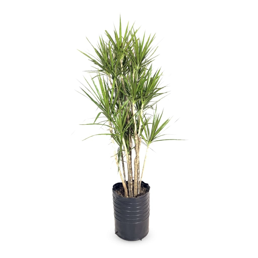 Plantas Faitful Plantas Interior Dracaena Marginata E30 1 - Plantas Faitful