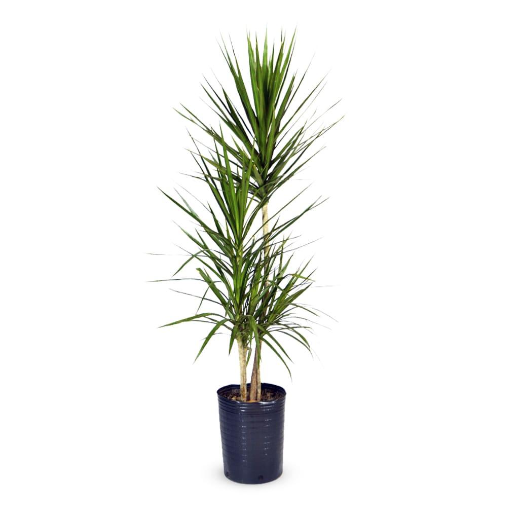 Plantas Faitful Plantas Interior Dracaena Marginata E7 1 1 - Plantas Faitful