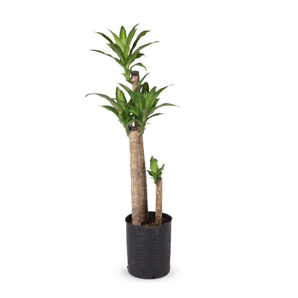 Plantas Faitful Plantas Interior Dracaena Massangeana E15 1 1 - Plantas Faitful