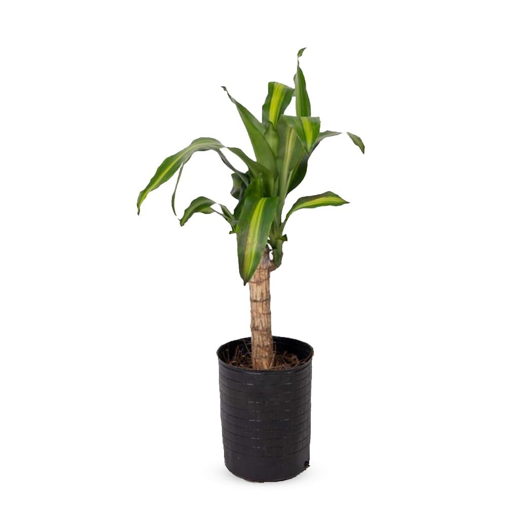 Plantas Faitful Plantas Interior Dracaena Massangeana E3 1 - Plantas Faitful