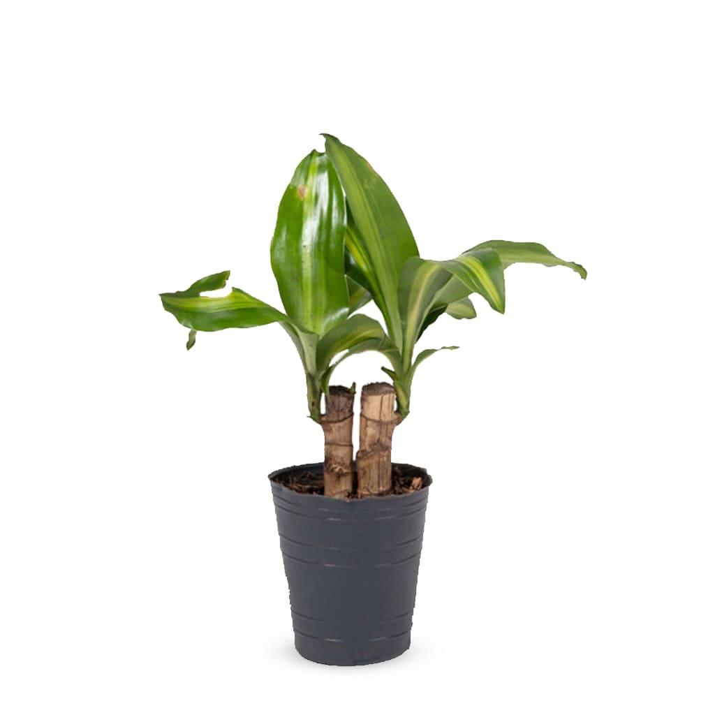 Plantas Faitful Plantas Interior Dracaena Massangeana M12 2 troncos 1 1 - Plantas Faitful