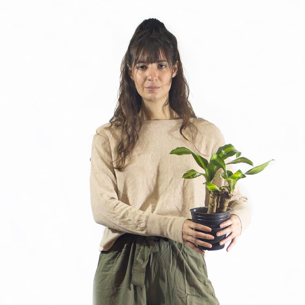 Plantas Faitful Plantas Interior Dracaena Massangeana M12 Dimension 1 - Plantas Faitful