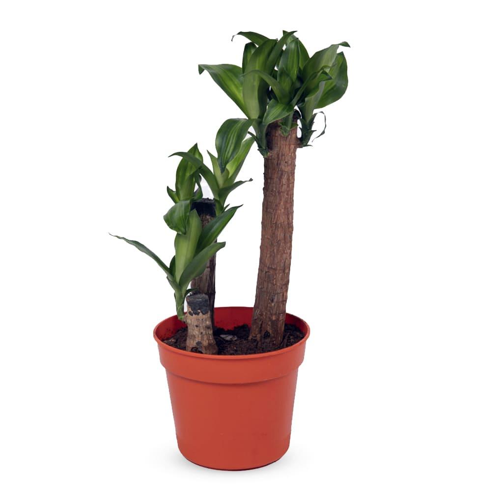 Plantas Faitful Plantas Interior Dracaena Massangeana M19 2 1 - Plantas Faitful