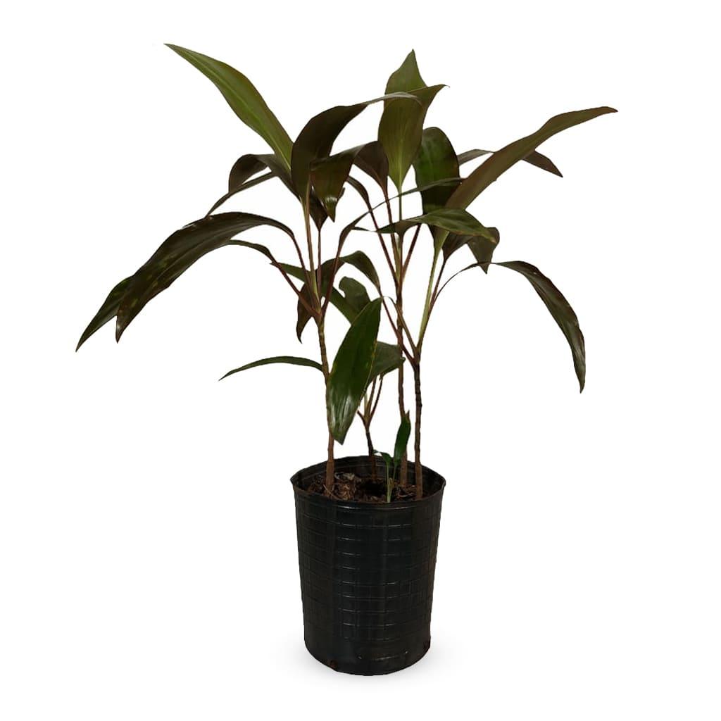 Plantas Faitful Plantas Interior Dracaena Rubra E3 1 - Plantas Faitful