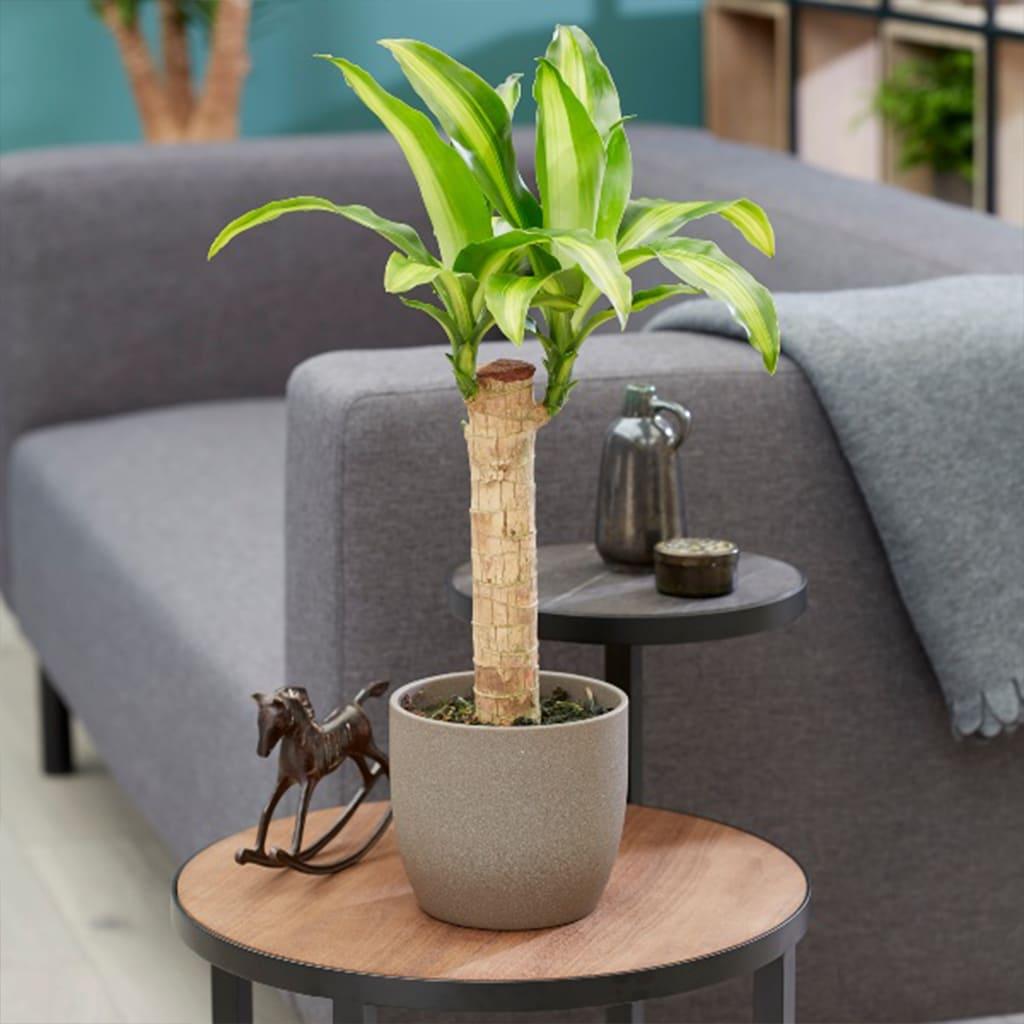 Plantas Faitful Plantas Interior Dracaena massangeana E3 1t - Plantas Faitful