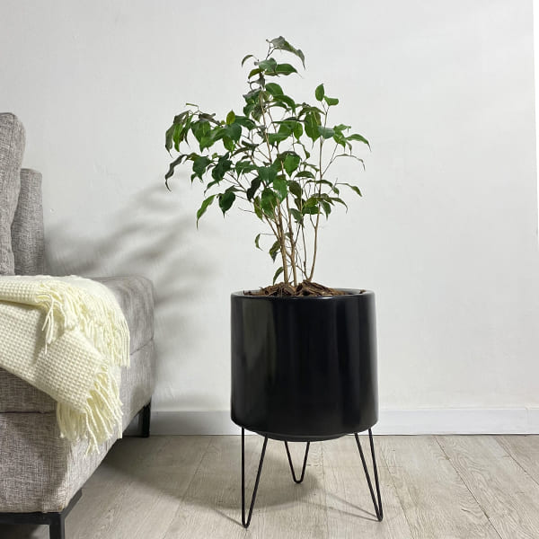 Plantas Faitful Plantas Interior Ficus Benjamina E3 1 - Plantas Faitful
