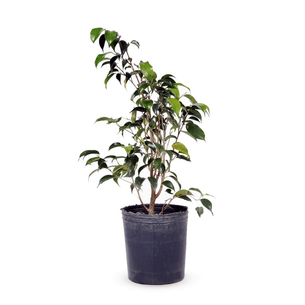 Plantas Faitful Plantas Interior Ficus Benjamina E4 1 - Plantas Faitful