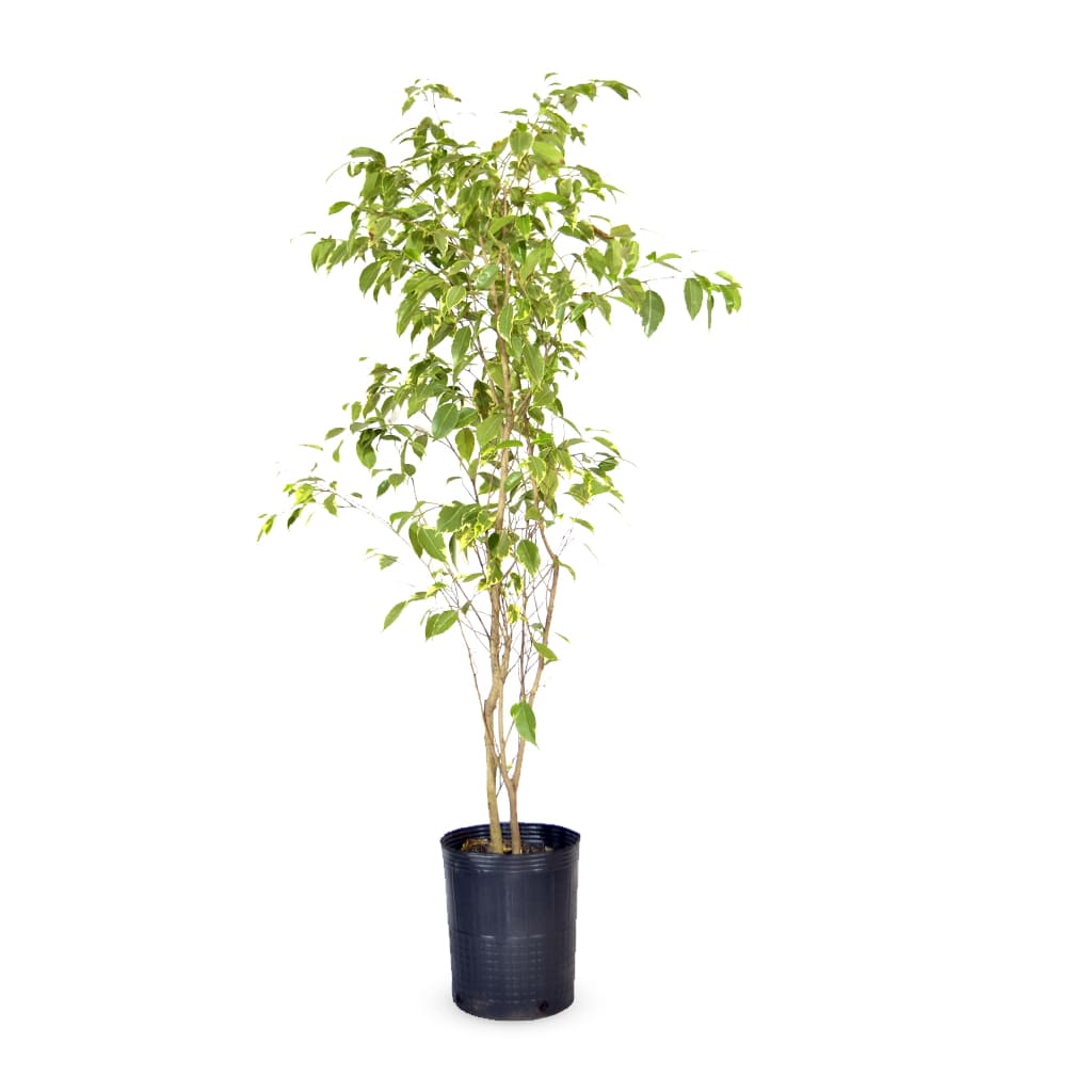 Plantas Faitful Plantas Interior Ficus Variegado E7 1 1 1 - Plantas Faitful