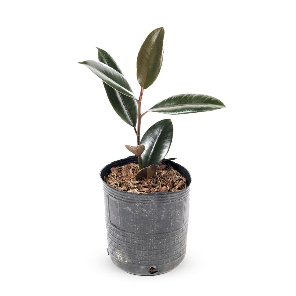 Plantas Faitful Plantas Interior Gomero Baby E3 1 1 - Plantas Faitful