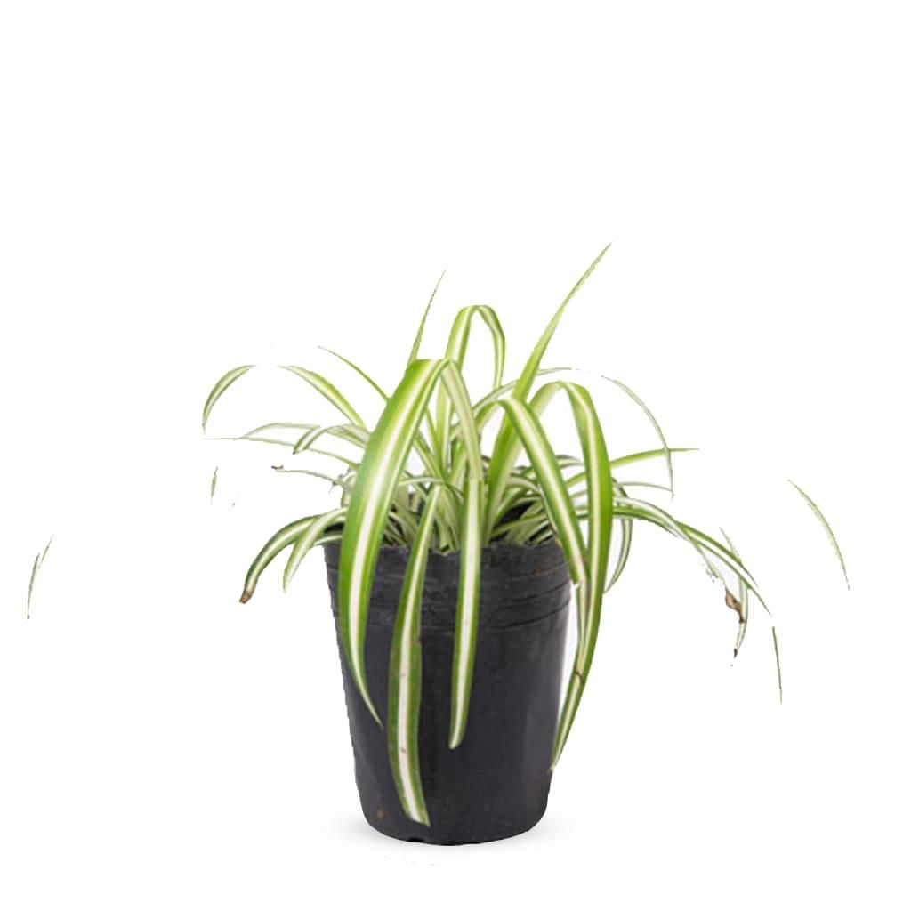 Plantas Faitful Plantas Interior Lazo de Amor M12 1 - Plantas Faitful