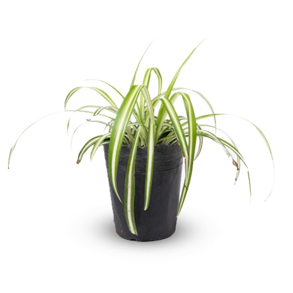 Plantas Faitful Plantas Interior Lazo de Amor M12 - Plantas Faitful