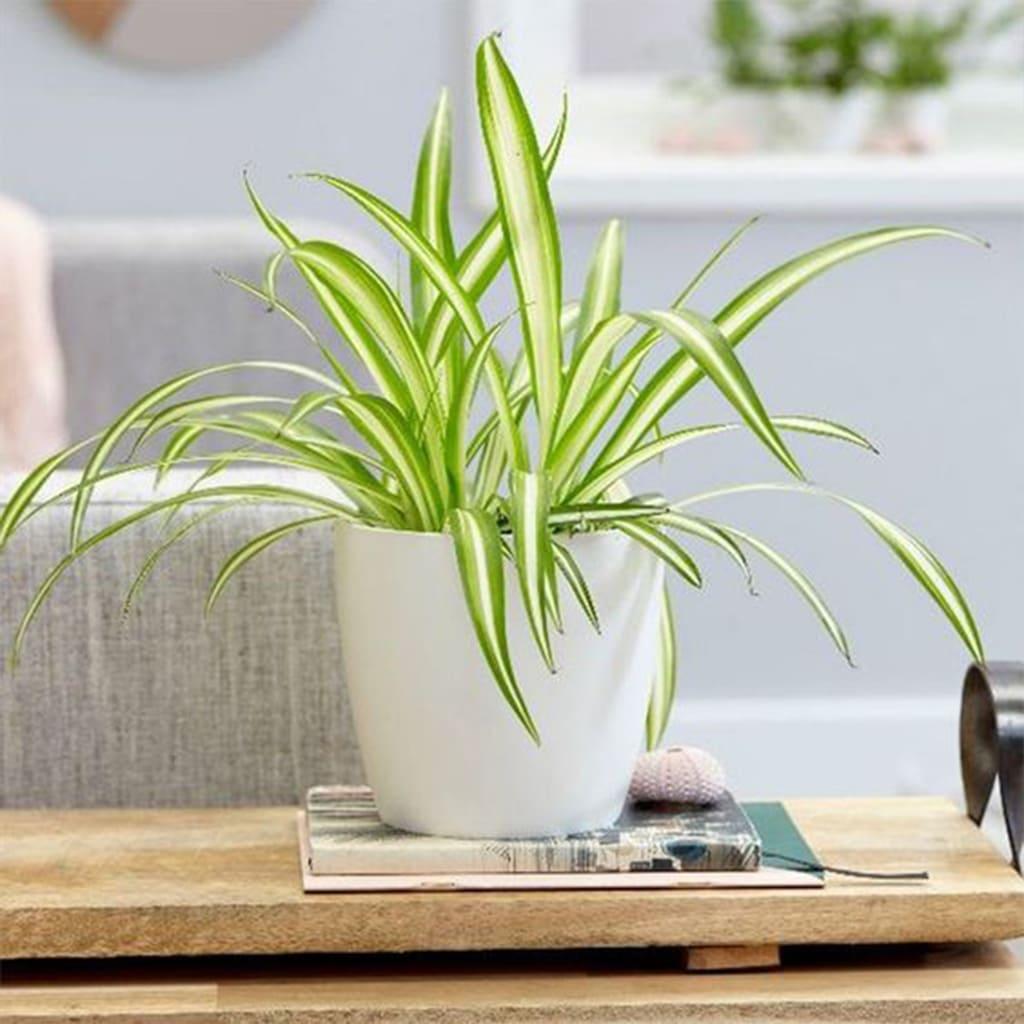 Plantas Faitful Plantas Interior Lazo de amor M12 1 1 - Plantas Faitful