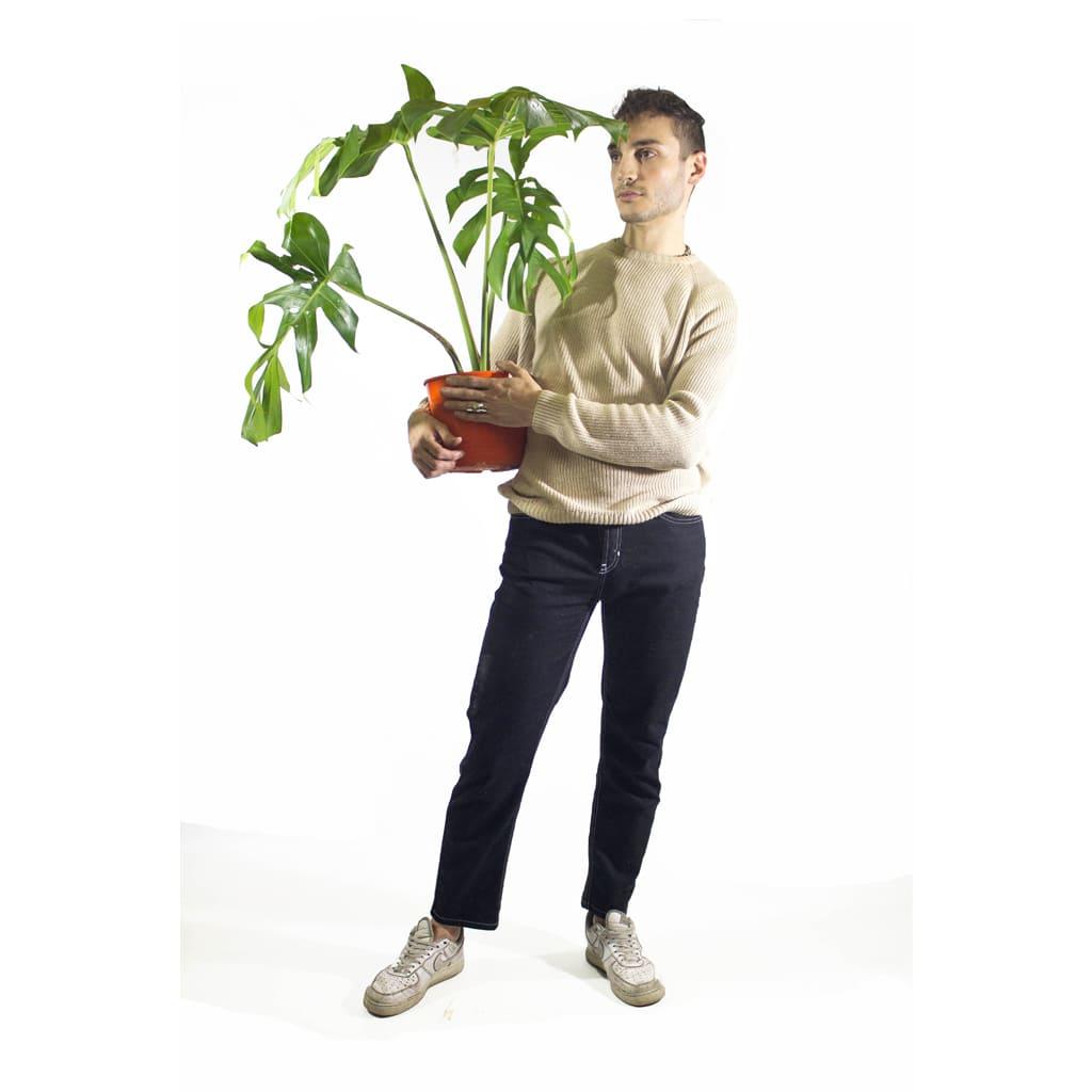 Plantas Faitful Plantas Interior Monstera Deliciosa E3 Dimension 2 - Plantas Faitful