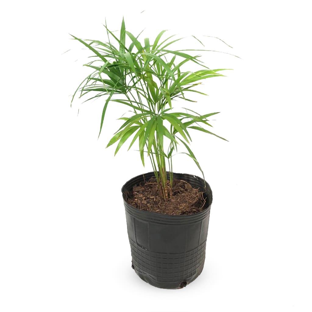 Plantas Faitful Plantas Interior Palmito E3 1 1 - Plantas Faitful