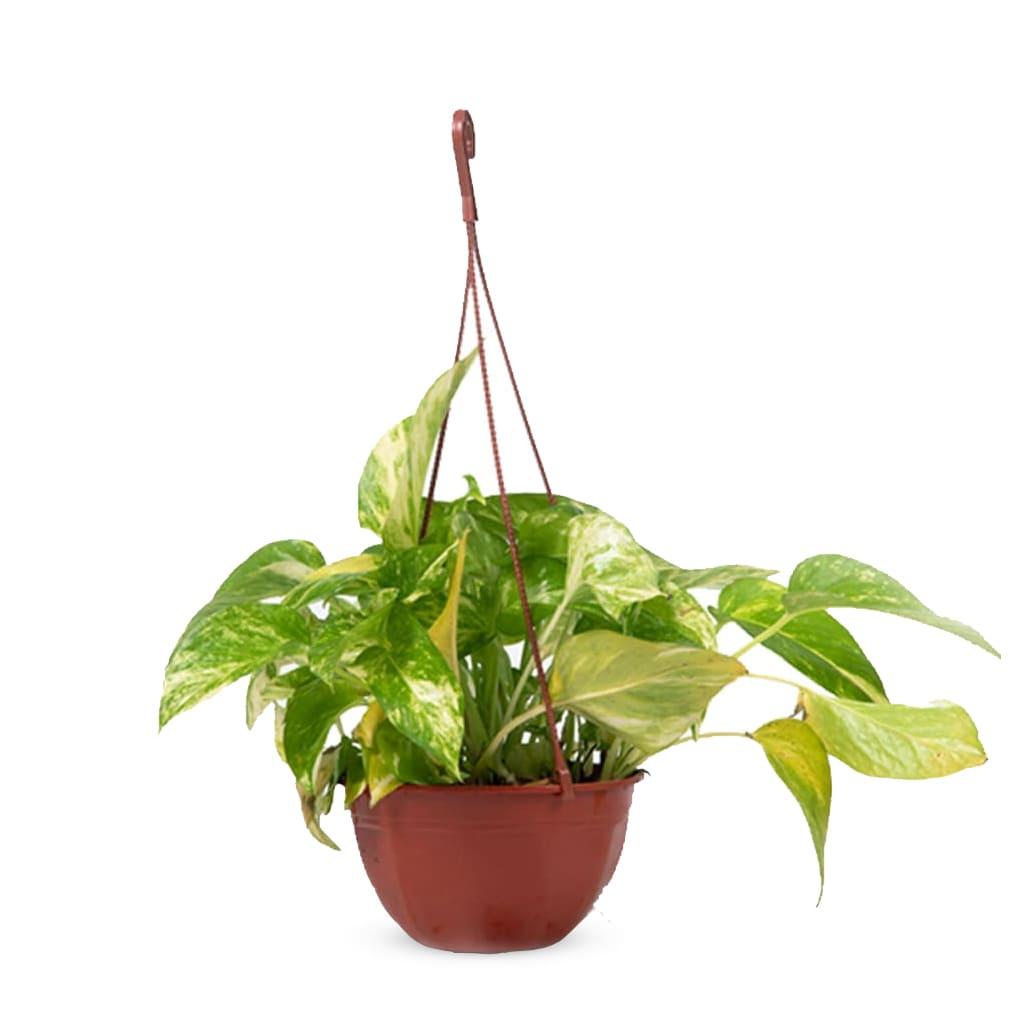 Plantas Faitful Plantas Interior Potus B18 1 - Plantas Faitful