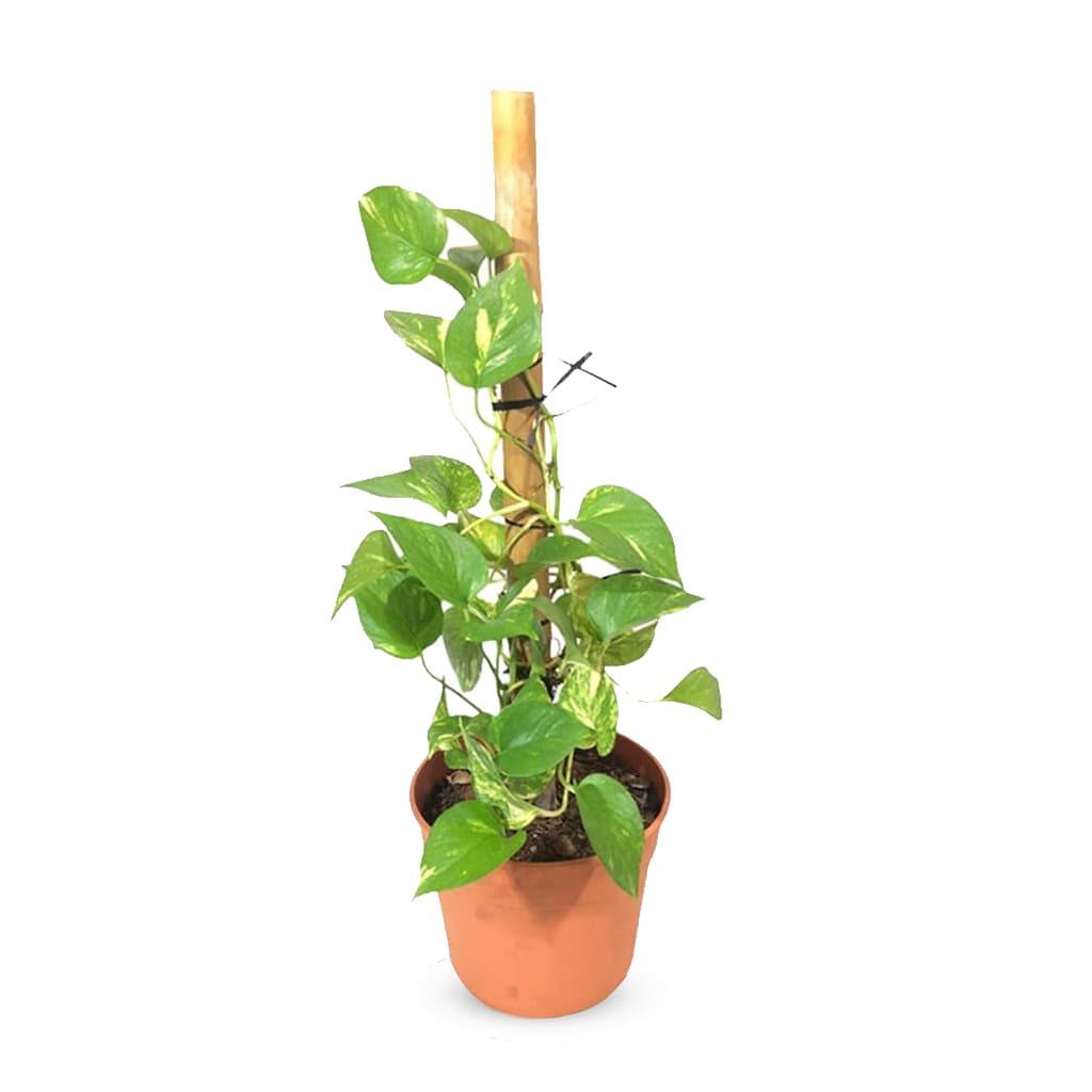 Plantas Faitful Plantas Interior Potus E3 tutor - Plantas Faitful