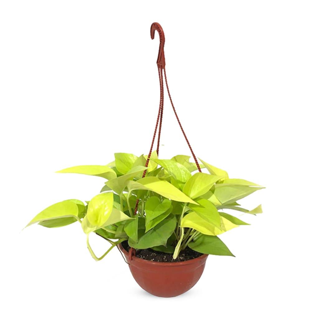 Plantas Faitful Plantas Interior Potus Lemon B18 1 - Plantas Faitful