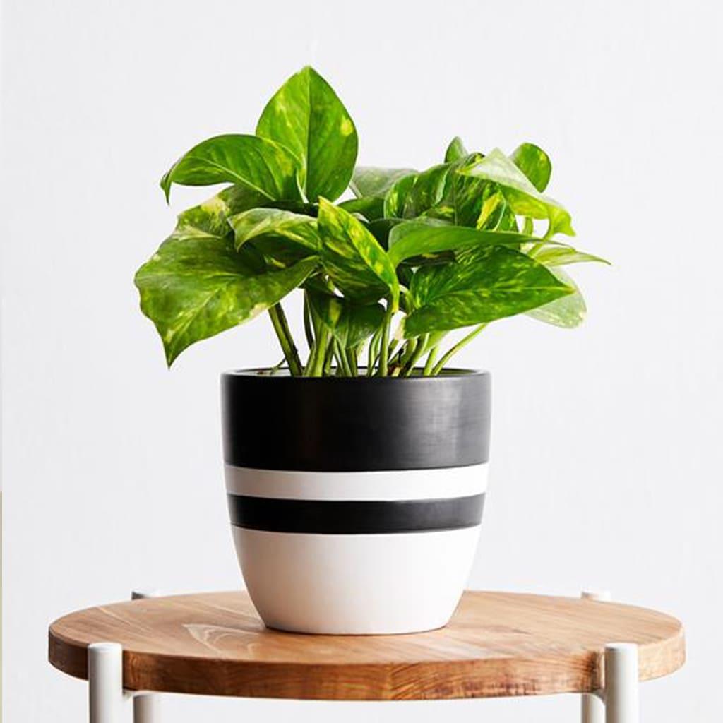 Plantas Faitful Plantas Interior Potus M12 2 - Plantas Faitful
