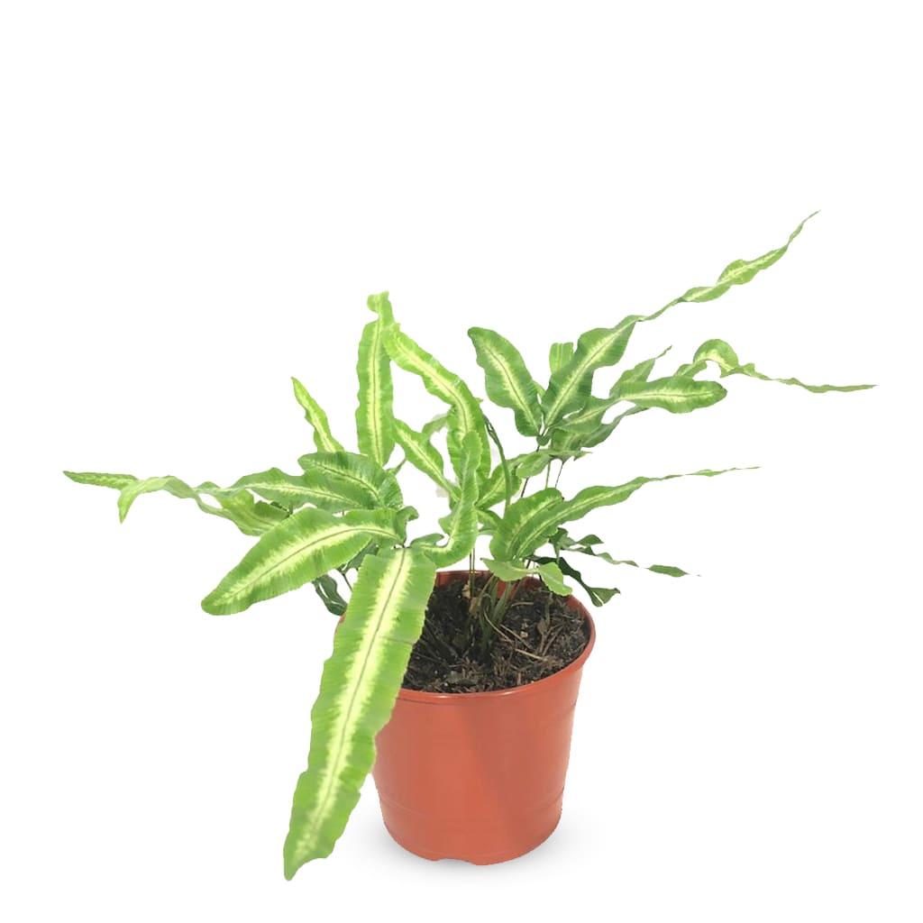 Plantas Faitful Plantas Interior Pteris M11 - Plantas Faitful