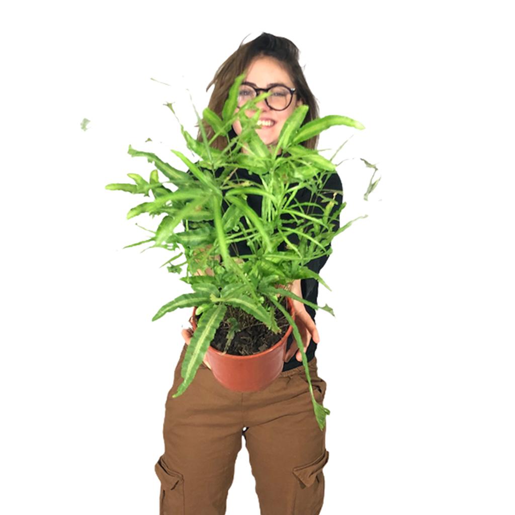 Plantas Faitful Plantas Interior Pteris M14 Dimension 1 - Plantas Faitful