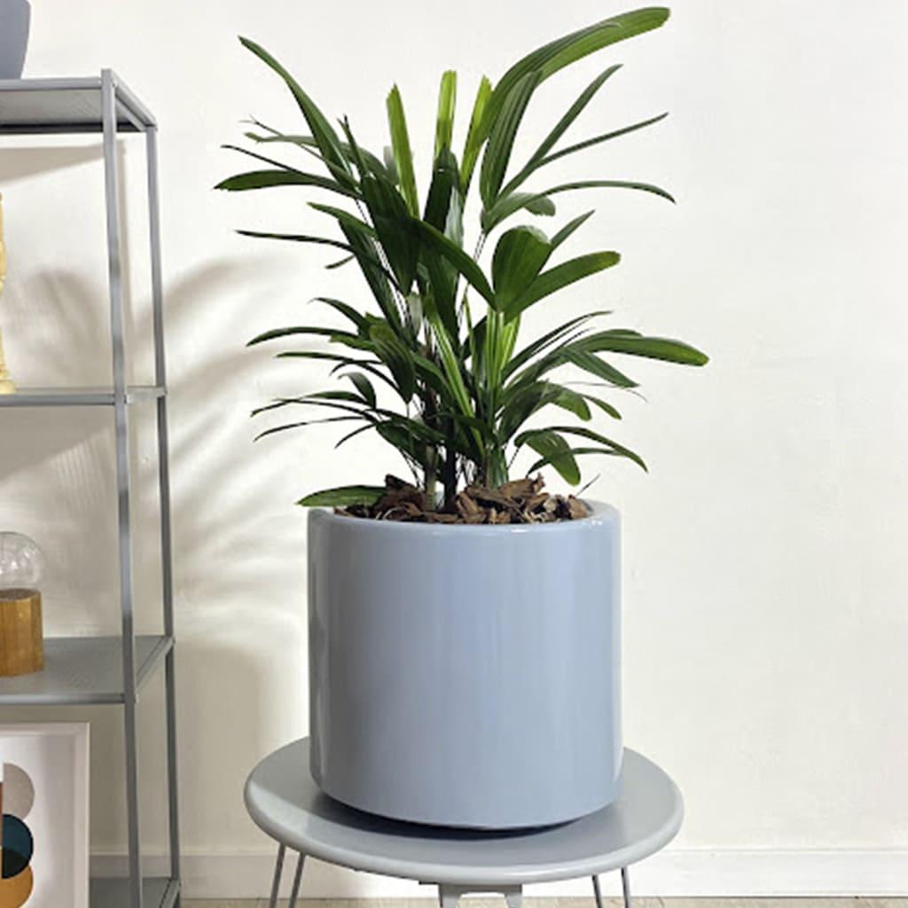 Plantas Faitful Plantas Interior Raphis E3 1 2 - Plantas Faitful