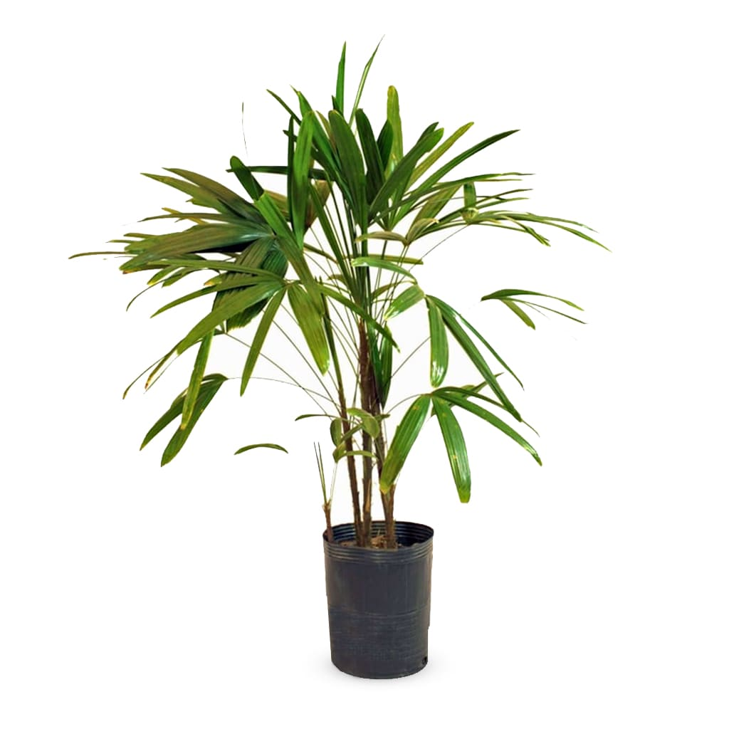 Plantas Faitful Plantas Interior Raphis E7 2 1 - Plantas Faitful