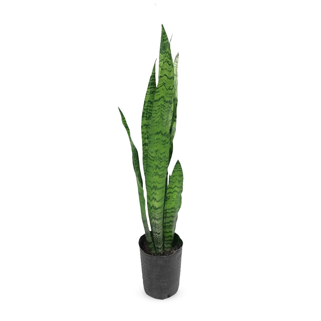 Plantas Faitful Plantas Interior Sanseviera verde E3 1 1 - Plantas Faitful