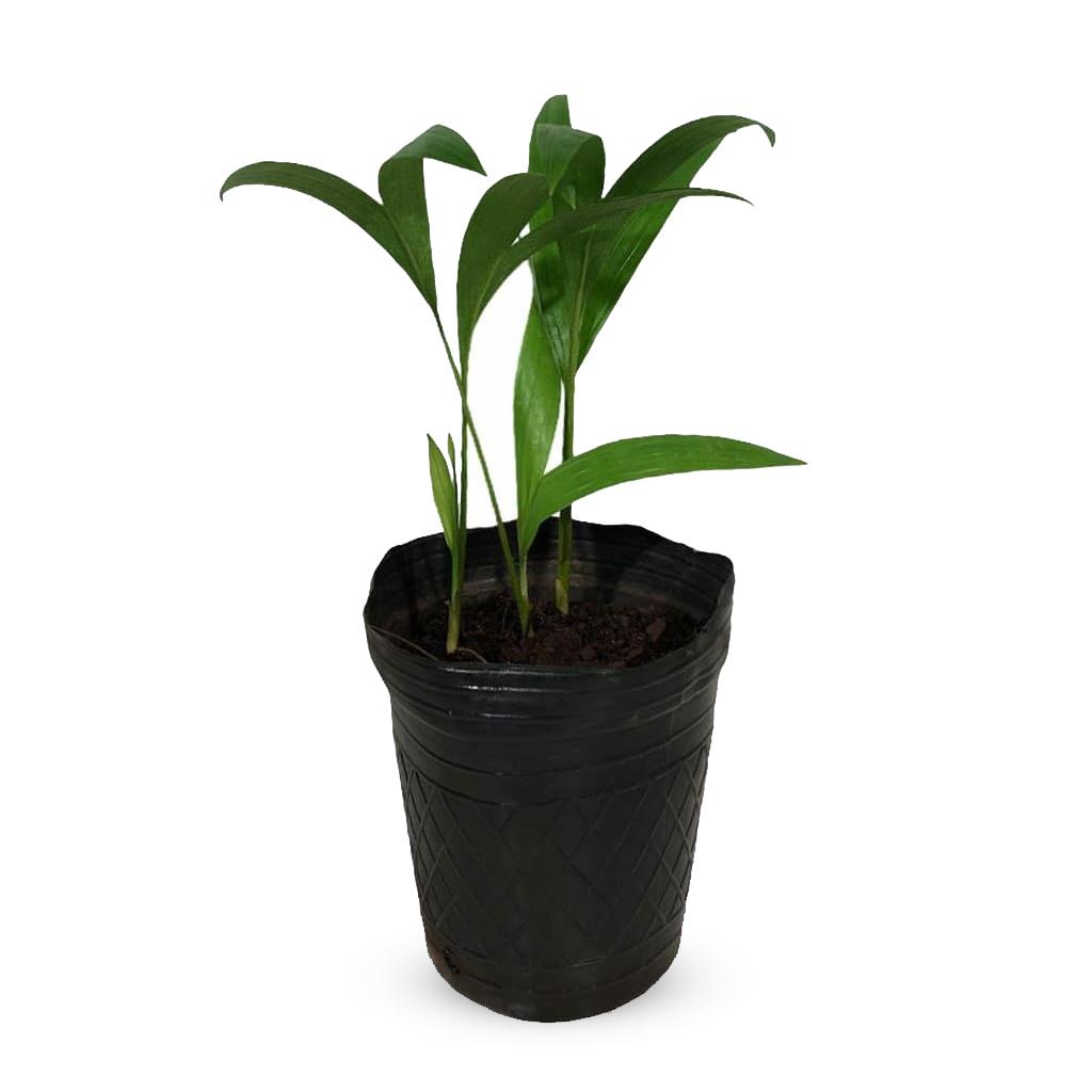 Plantas Faitful Plantas Interior Seaphortia M12 1 - Plantas Faitful