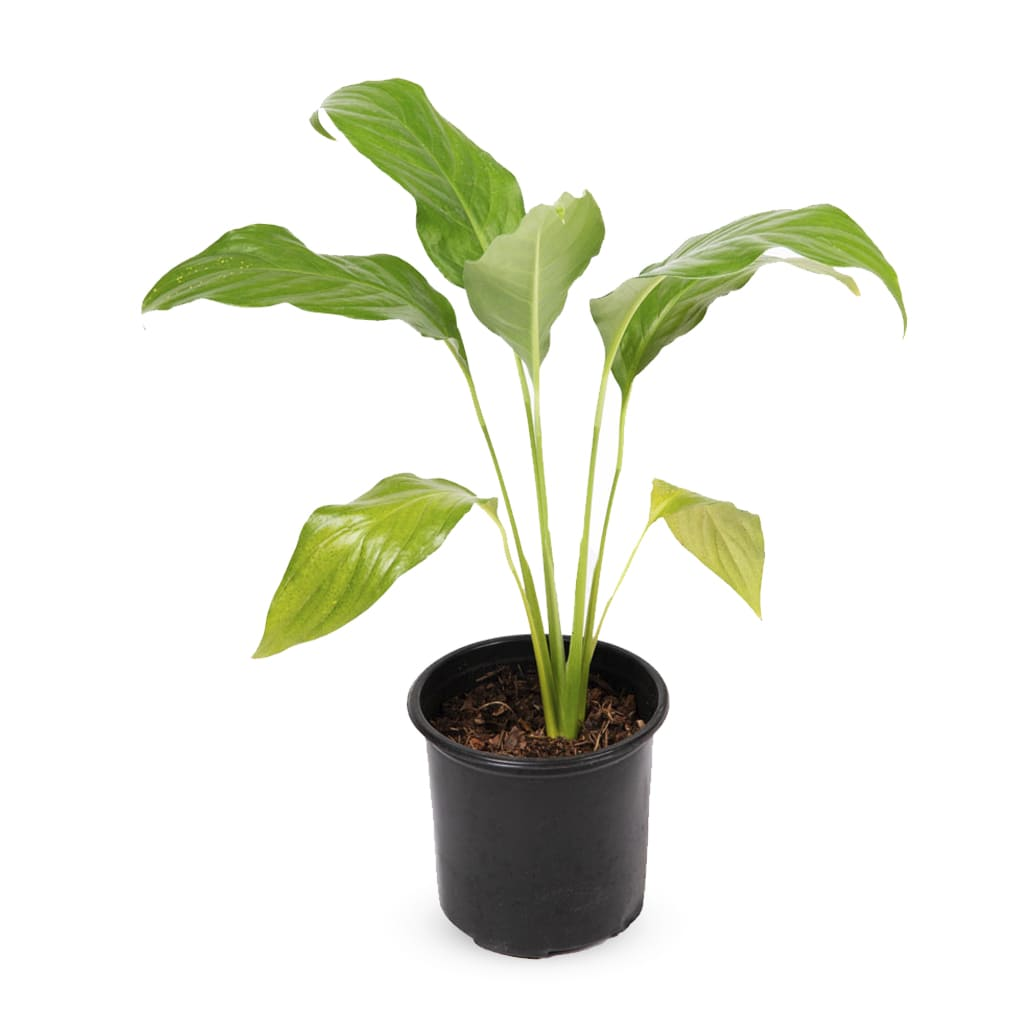 Plantas Faitful Plantas Interior Spathiphyllum M11 1 - Plantas Faitful