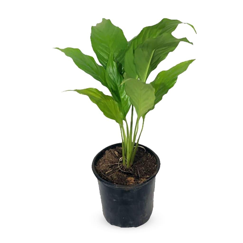 Plantas Faitful Plantas Interior Spathiphyllum M13 - Plantas Faitful