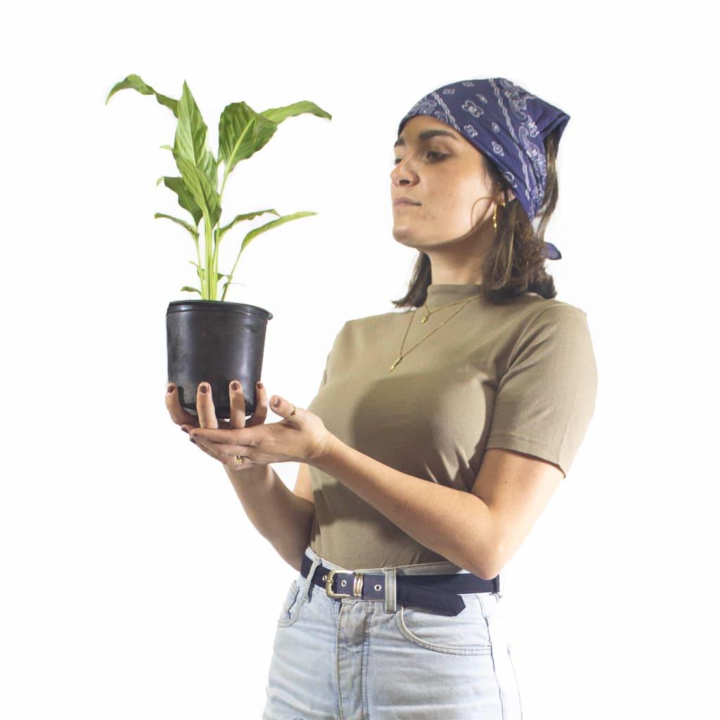 Plantas Faitful Plantas Interior Spatiphyllum M13 Dimension 2 1 - Plantas Faitful