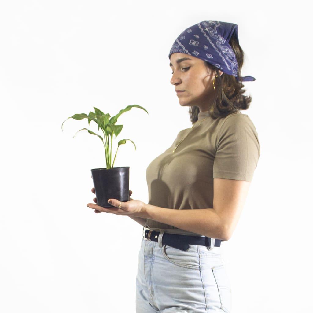 Plantas Faitful Plantas Interior Spatyphillum M11 Dimension - Plantas Faitful